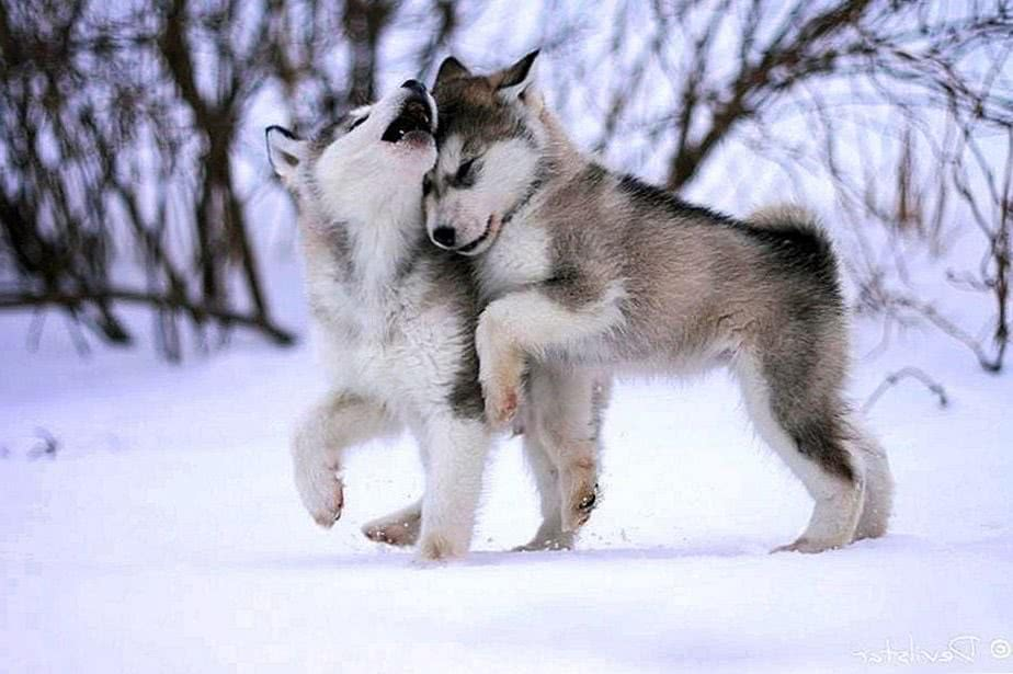 Cute Wolves Wallpapers