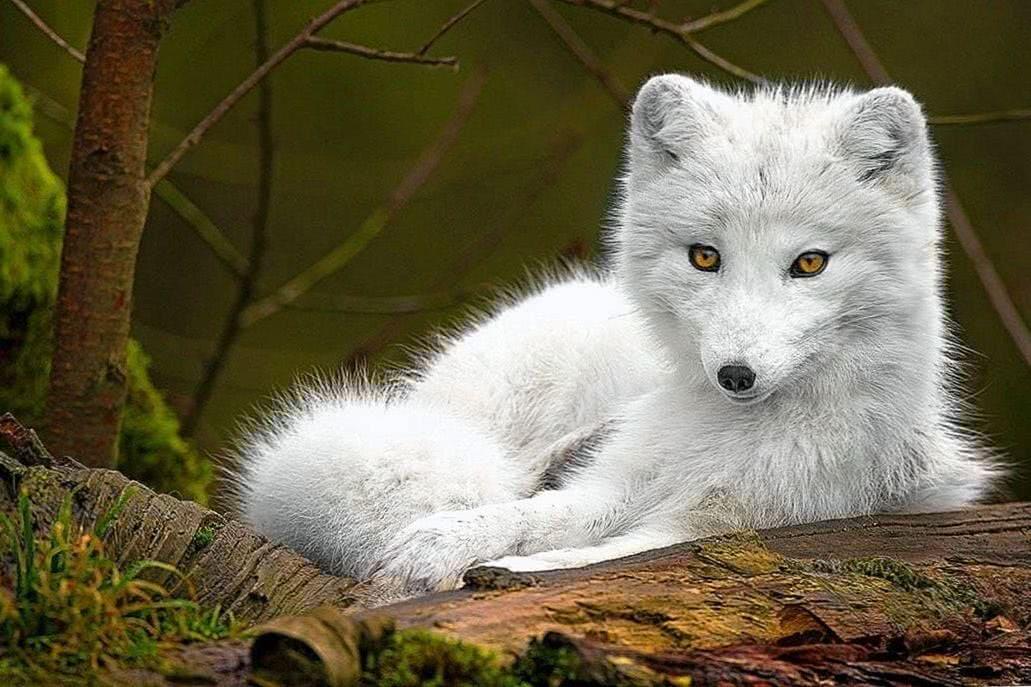 Cute Baby Wolf Wallpaper