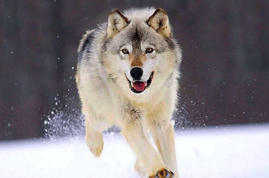 Cute Wolf Wallpaper HD