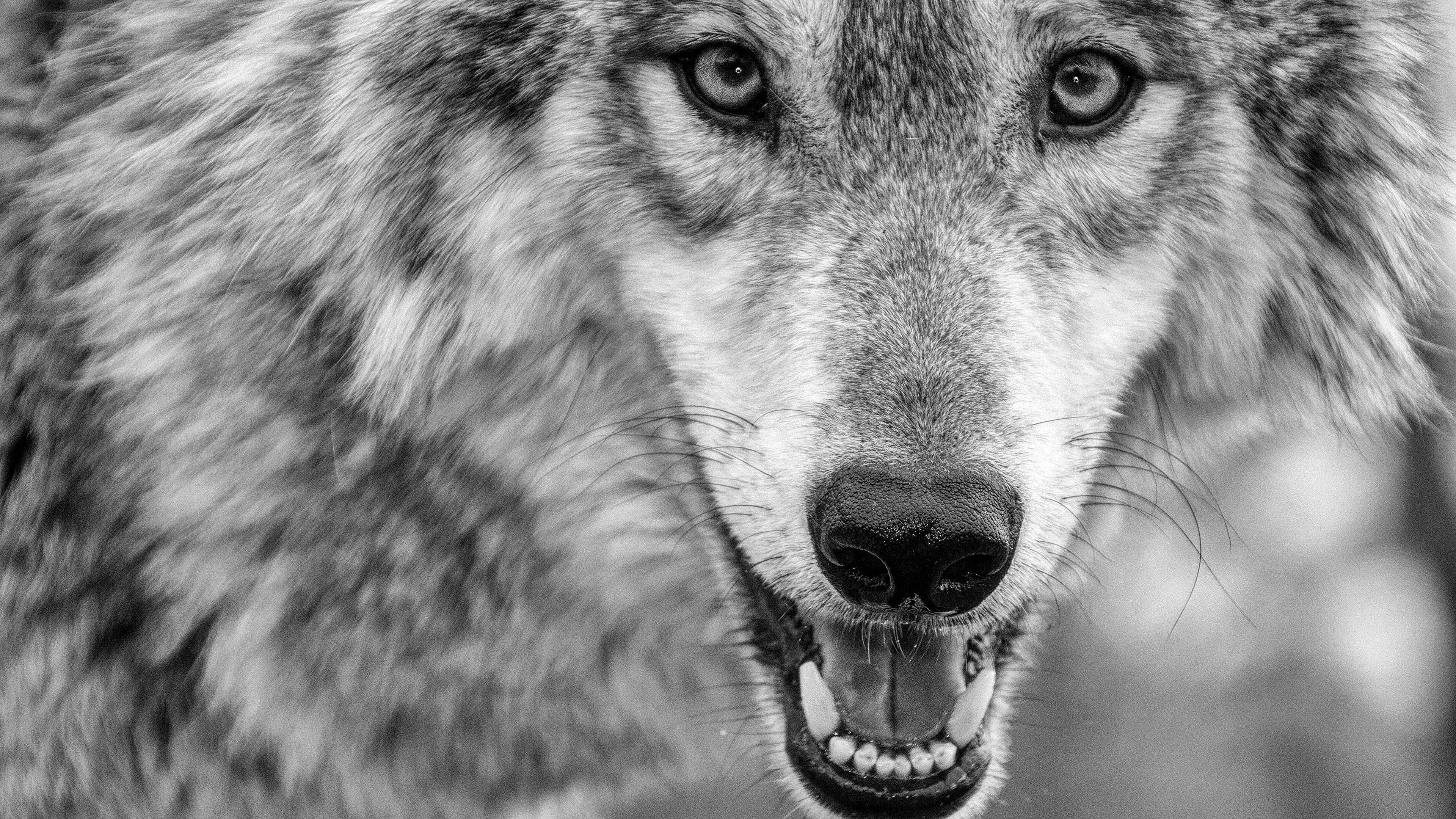 Dark Wolf Wallpapers 4K
