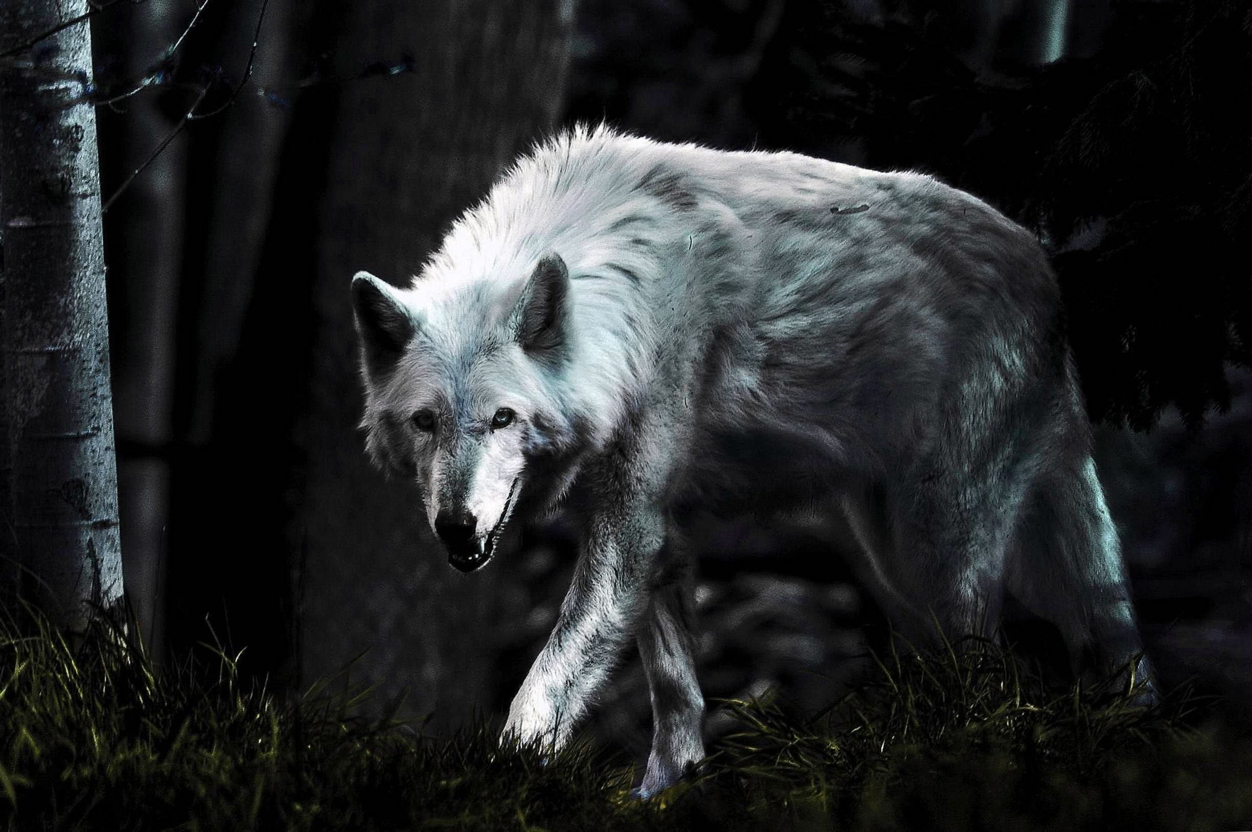 Lone White Wolf Wallpaper