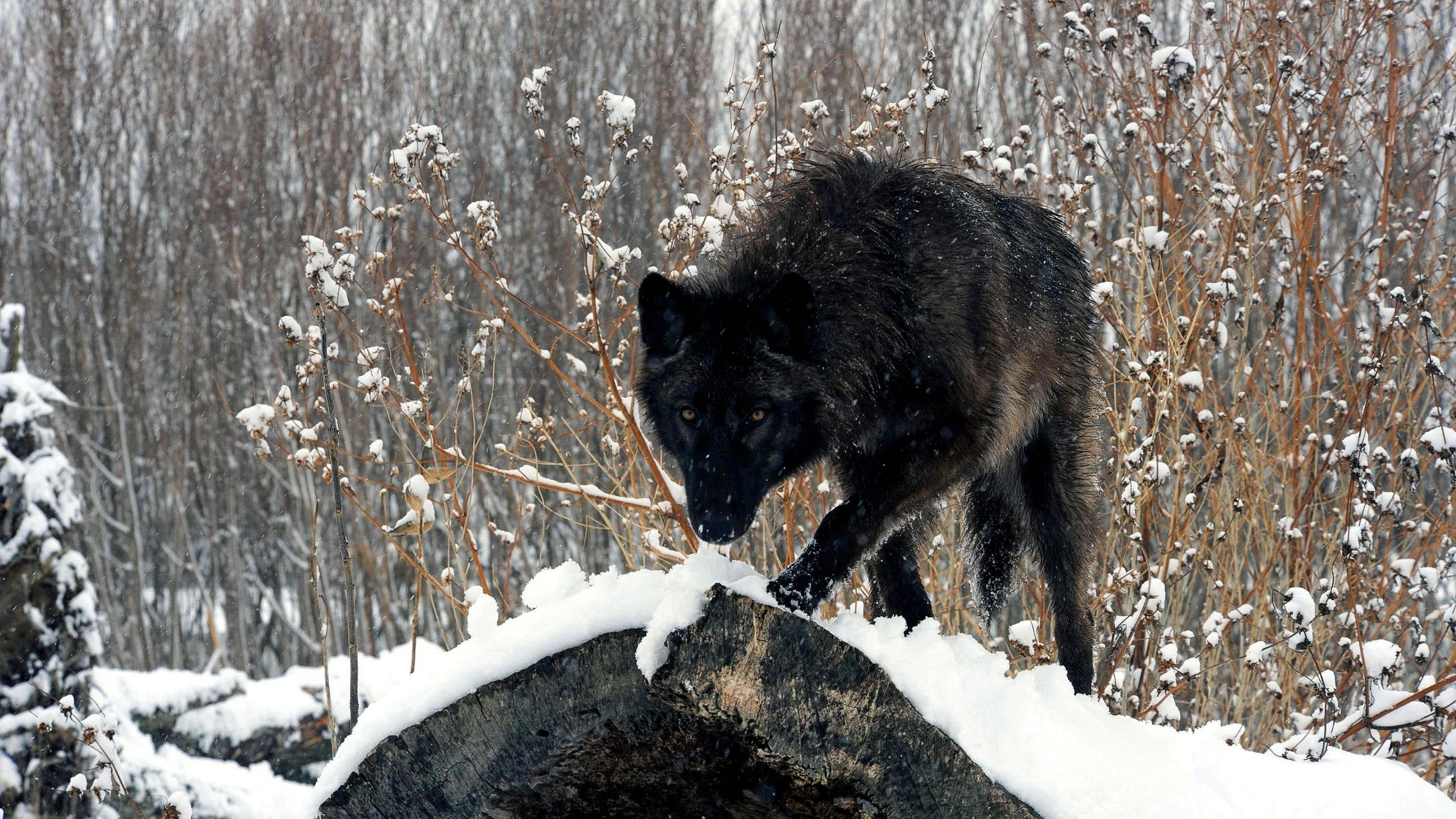 Desktop Black Wolf Wallpapers 4K