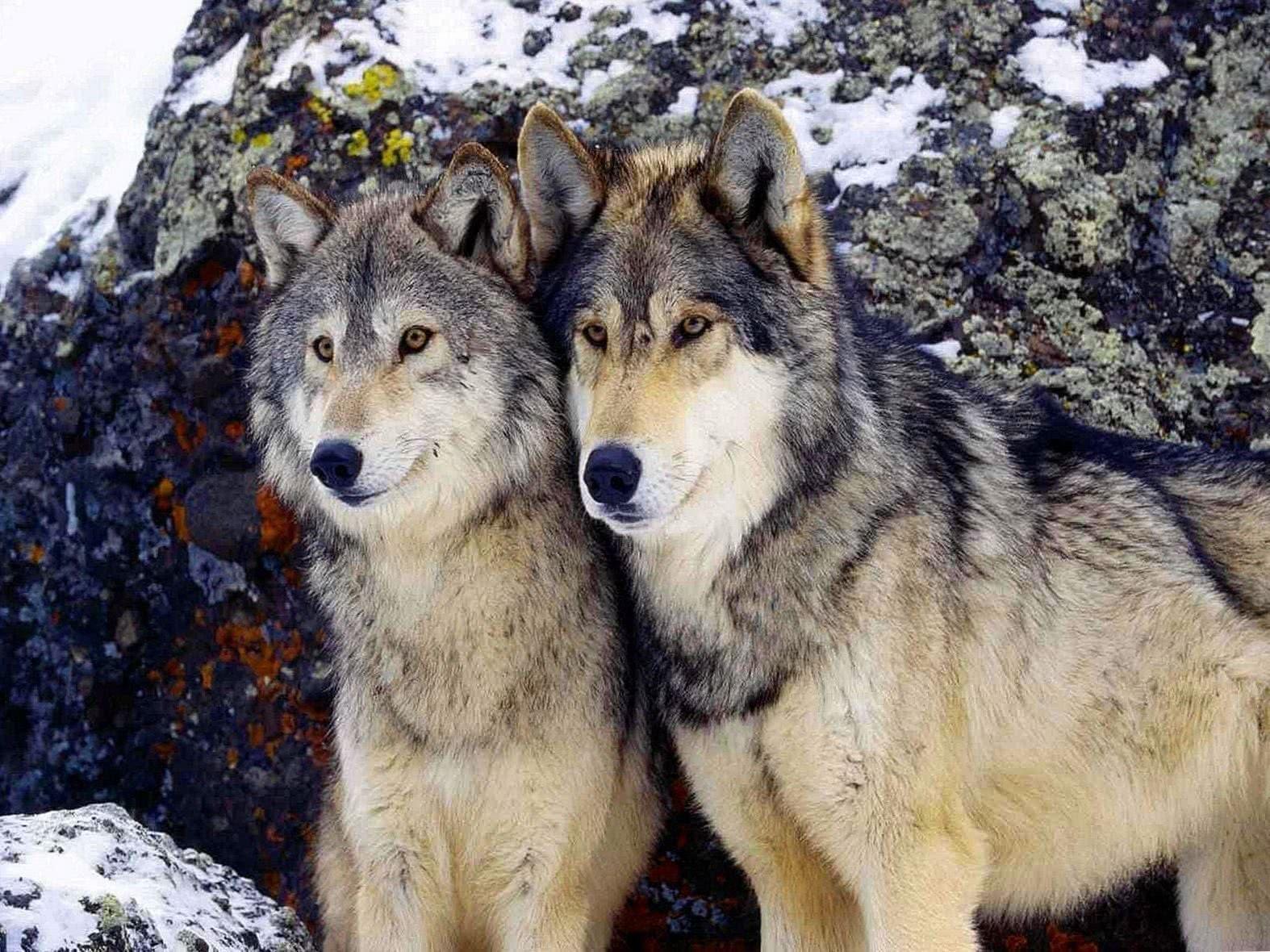 2 Wolves Wallpaper HD