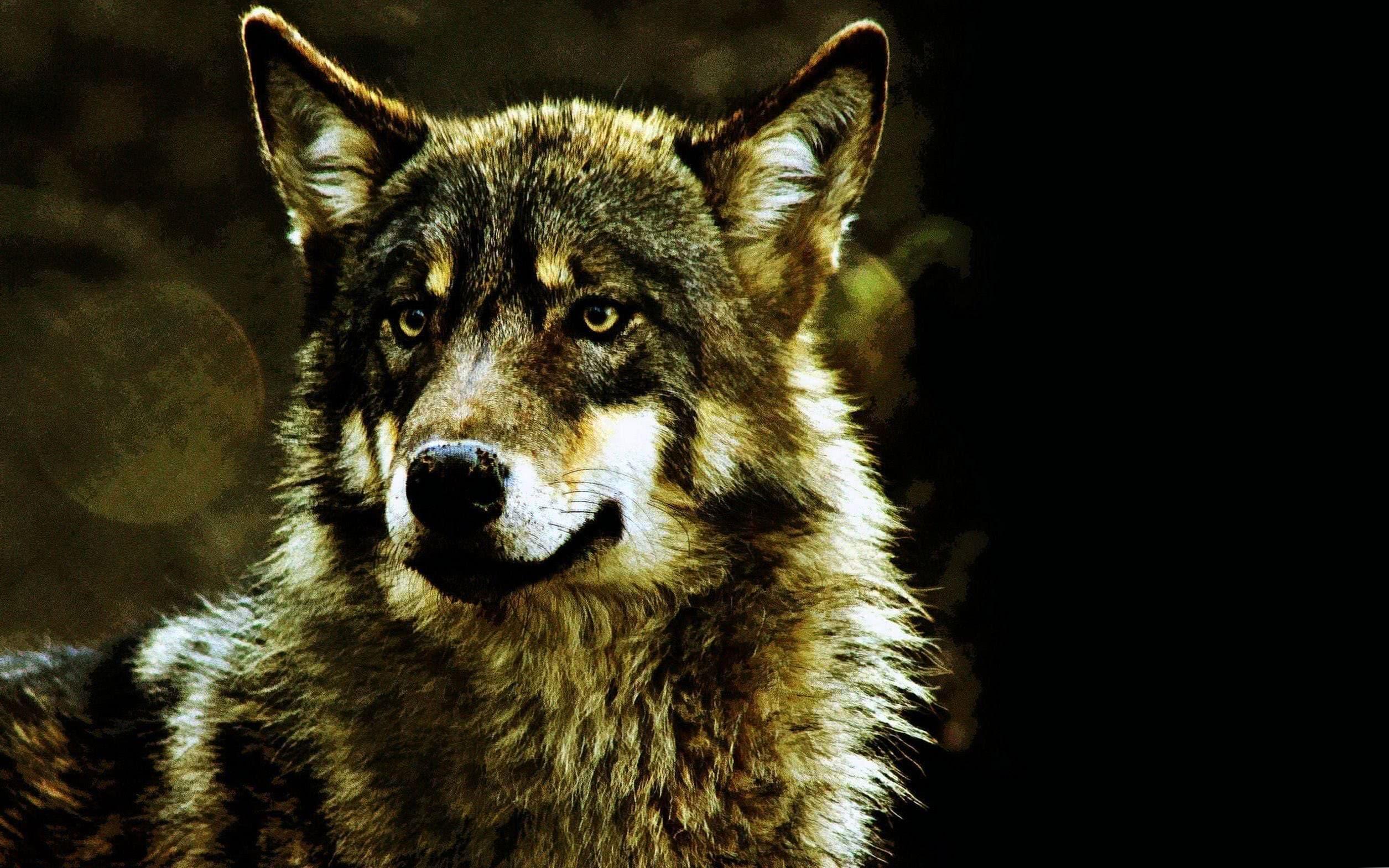 3000×2000 Wallpaper Wolf