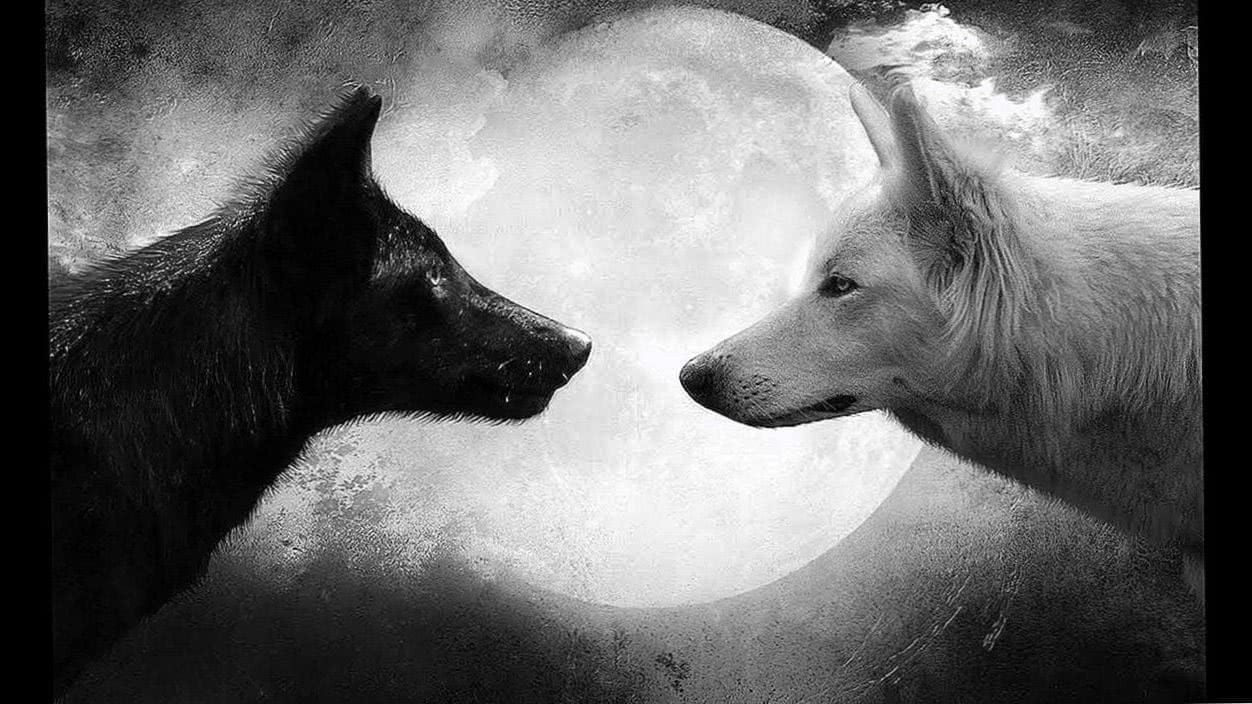 Black And White Wolves Together Wallpapers