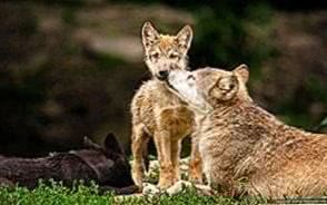 Cute Wolf Family Wallpapers