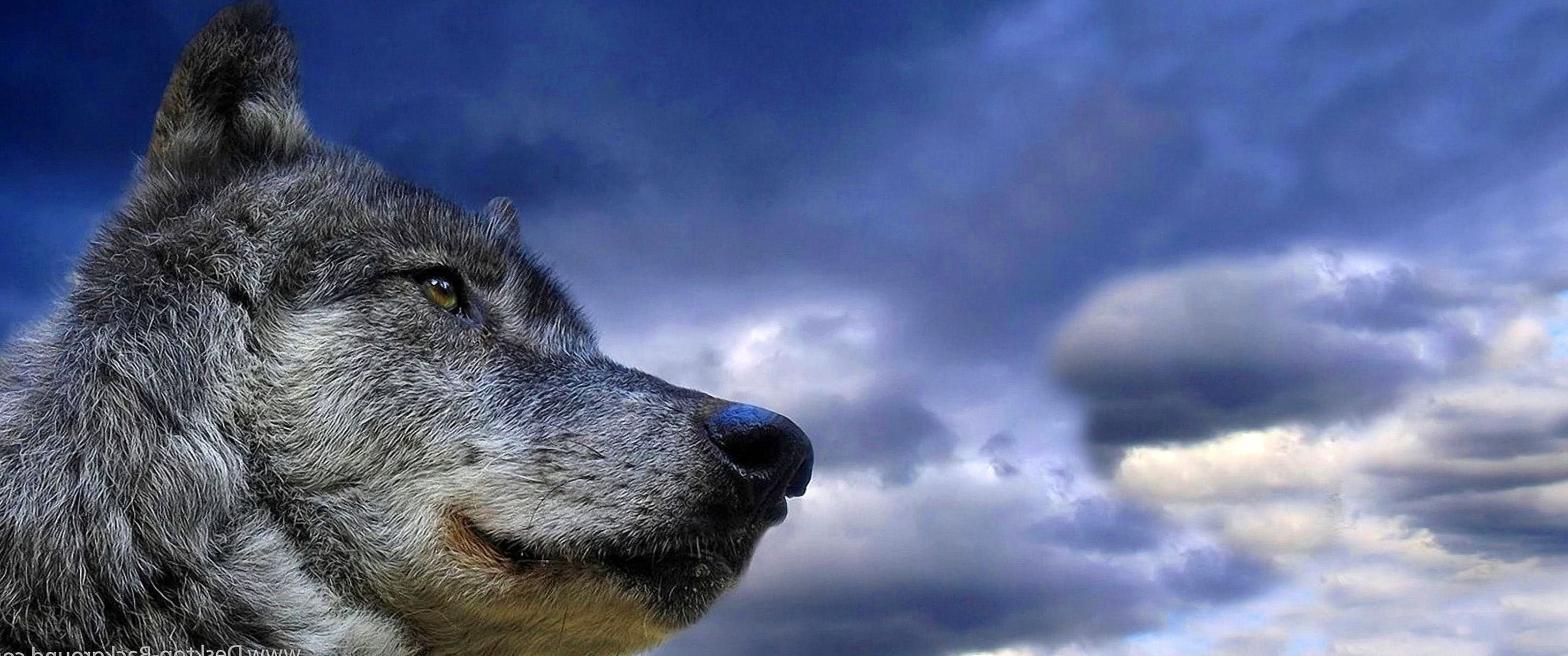 Wolf Wallpapers 3440x1440