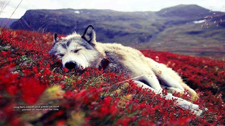 Wolf Wallpaper HD 1366×768