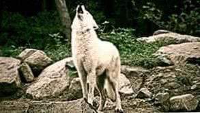 White Wolf Howling Wallpapers