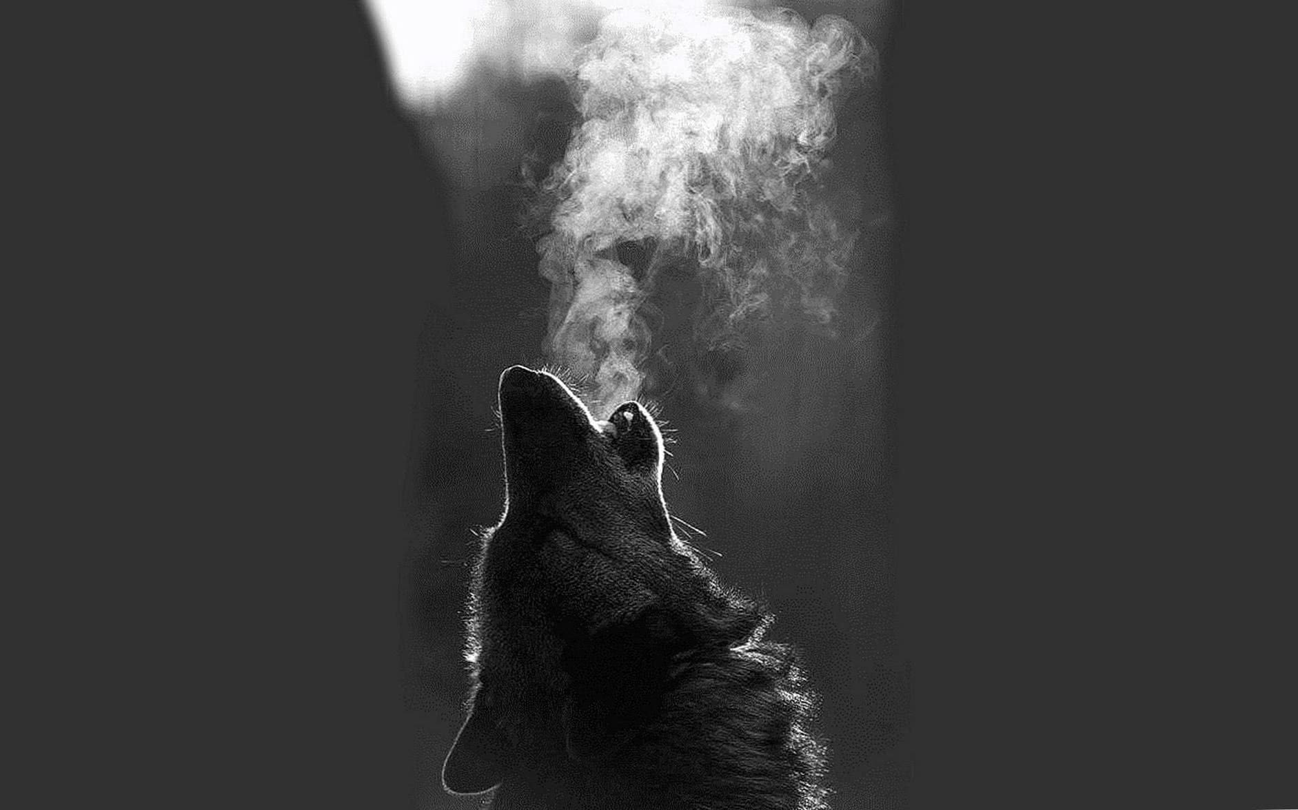 White Wolf Howling Wallpaper