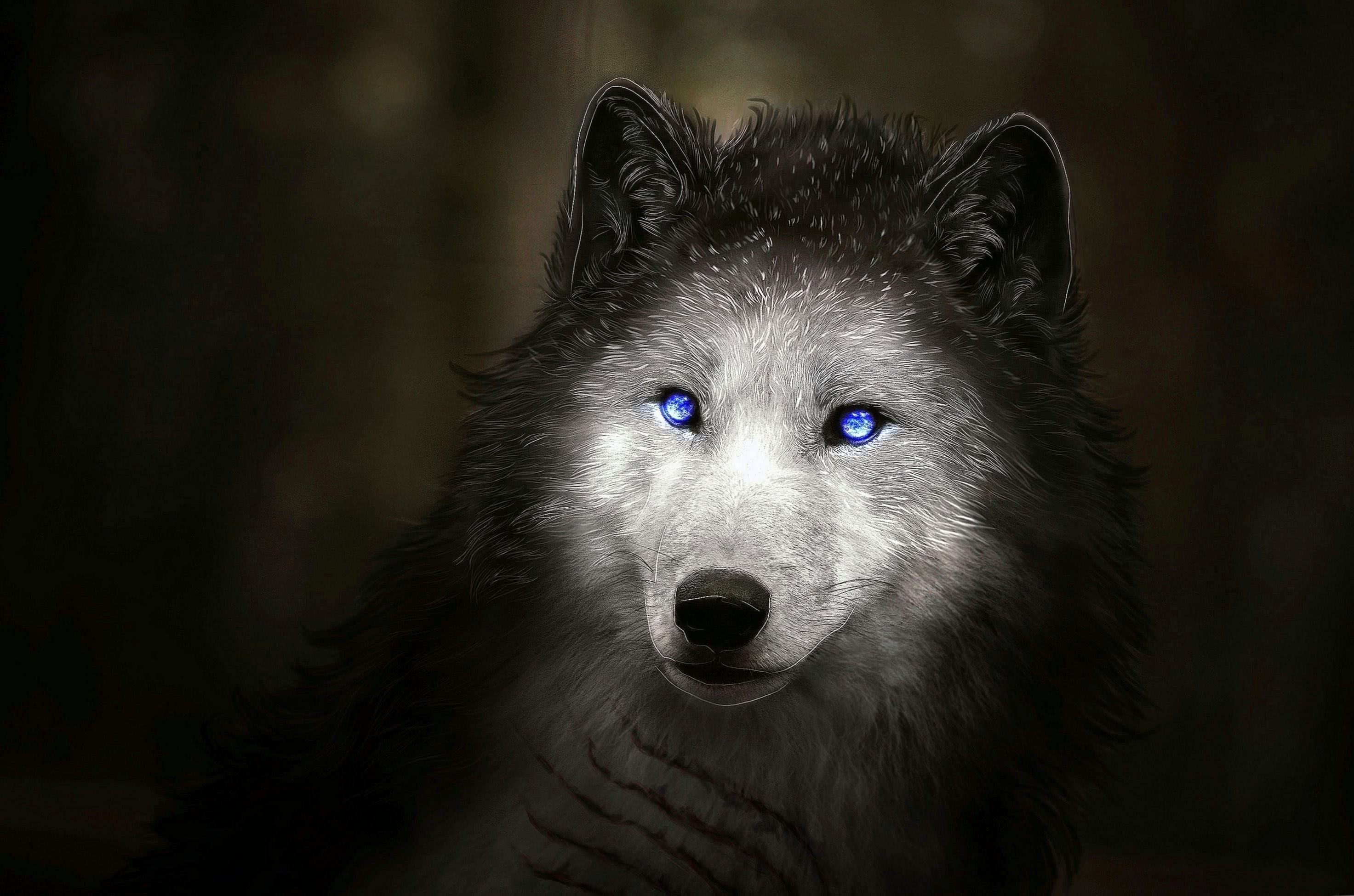 White Wolf With Blue Eyes Hd Wallpapers Wolf Wallpapers Pro