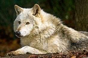 Wolf Wallpapers Fluffy