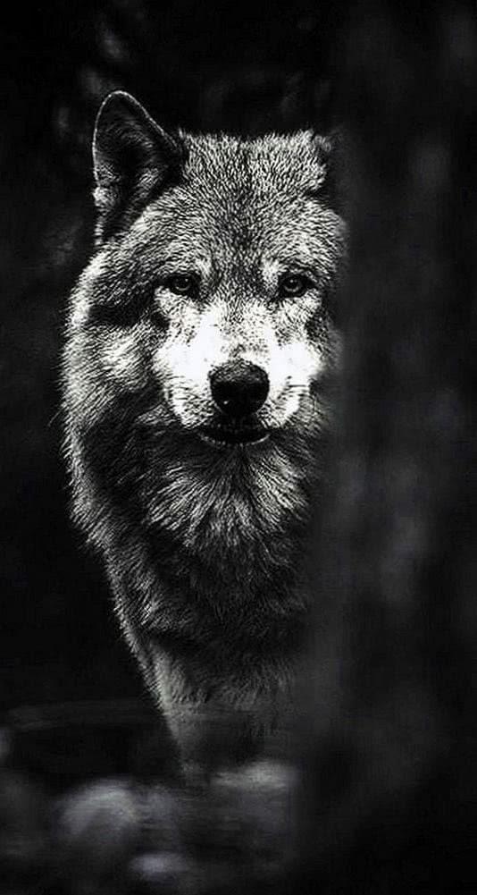 Dark Wolf Phone Wallpaper