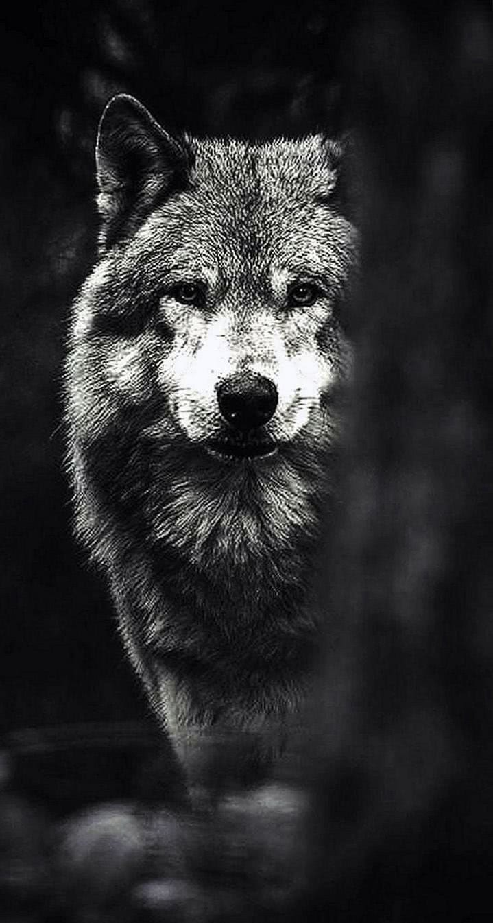 Black Wolf HD iPhone Wallpapers