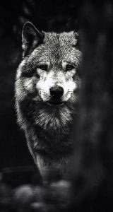 Black Wolf iPhone Wallpapers HD