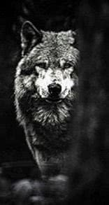 Wolf HD Wallpapers For Phone