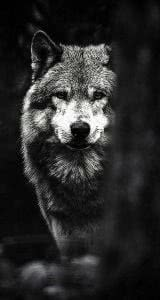 Wolf HD Wallpapers iPhone