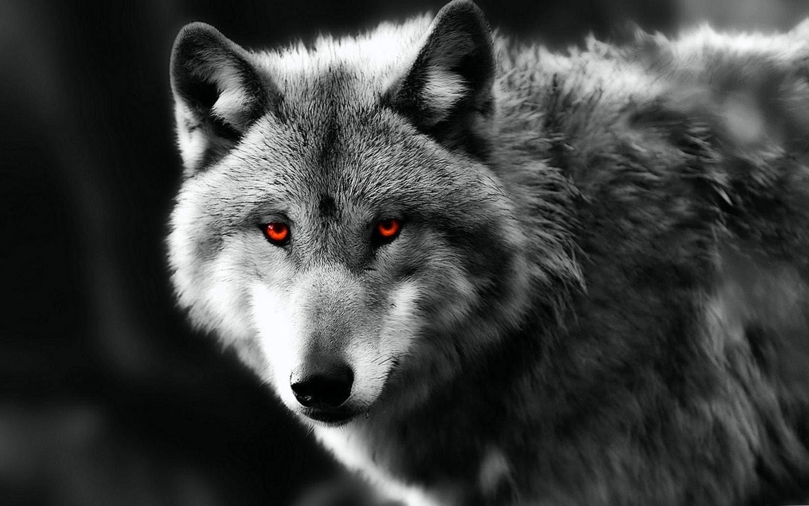 Red Eyes Wolf Wallpapers Wolf Wallpapers Pro