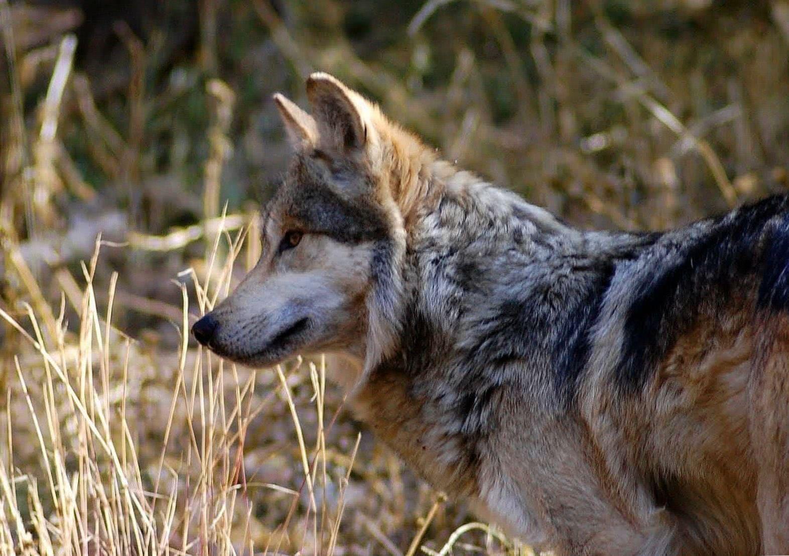Gambar Wallpapers Dark Wolf Wolf Wallpapers Pro