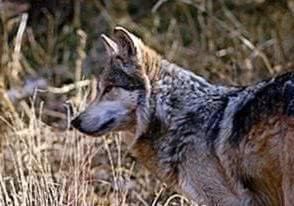 Mexican Grey Wolf Wallpapers