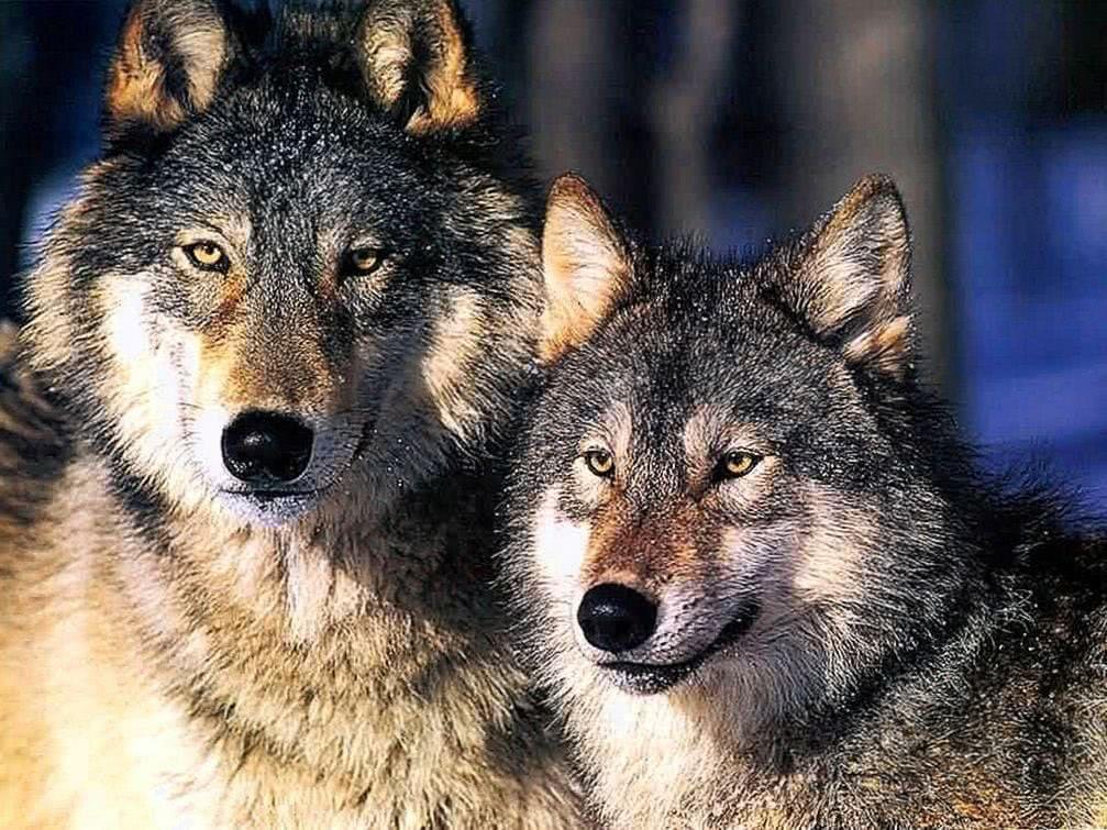 Gambar Wallpapers White Wolf