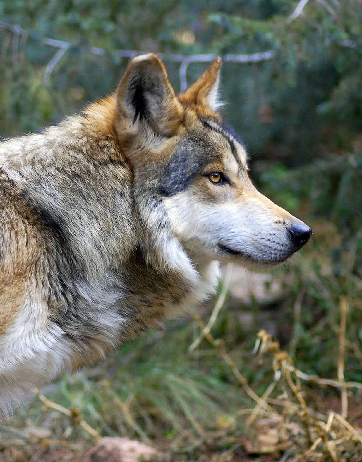 Gambar Wallpapers Wolf Wolf Wallpapers Pro