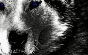 Alpha Wolf HD Wallpapers