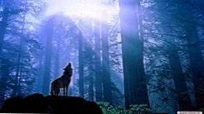 Wallpapers HD 1366x768 Wolf