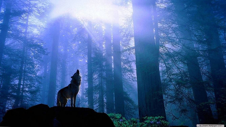 1366×768 Wallpaper Wolf