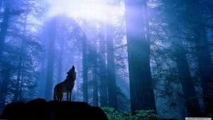 1366x768 Wolf Wallpapers HD