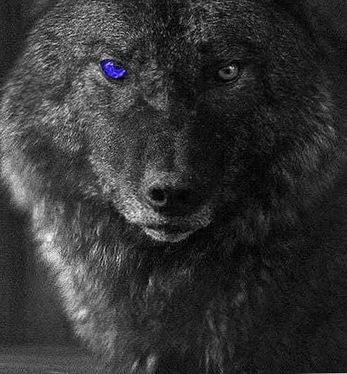 Gray Wolf With Blue Eyes Wallpapers