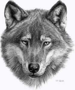 Head Of A Wolf Wallpapers