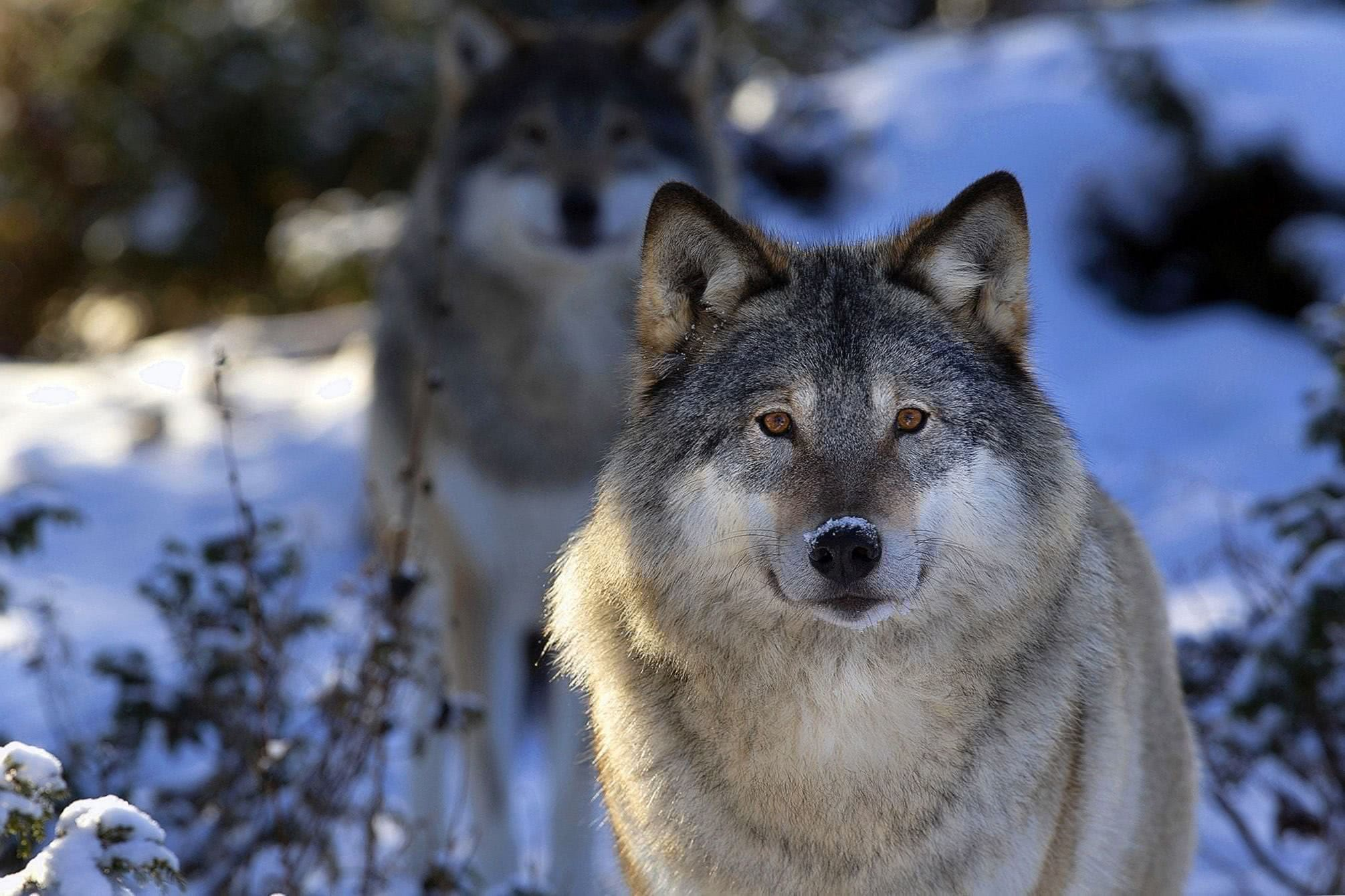 Wolf Wallpapers For Laptop - Wolf-Wallpapers.Pro