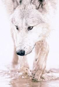 White Wolf Wallpapers iOS