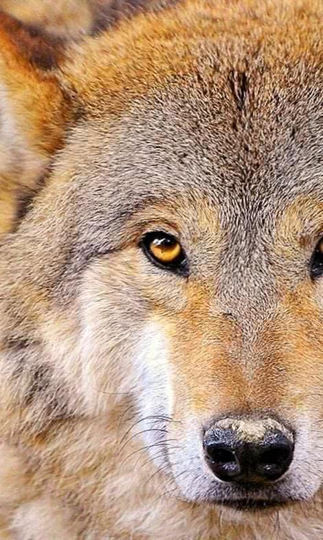 Full HD Wallpapers 1920x1080 Wolf