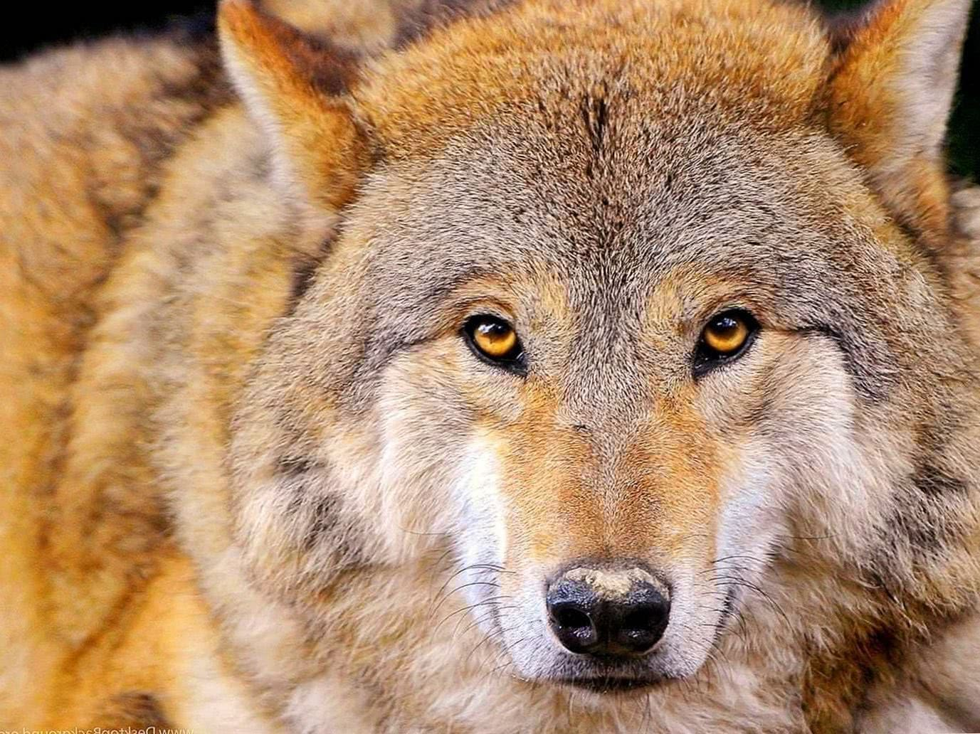 Full HD Wallpapers 1920×1080 Wolf