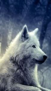 Wolf Wallpapers Samsung
