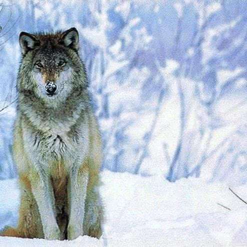 Gambar Wallpaper White Wolf