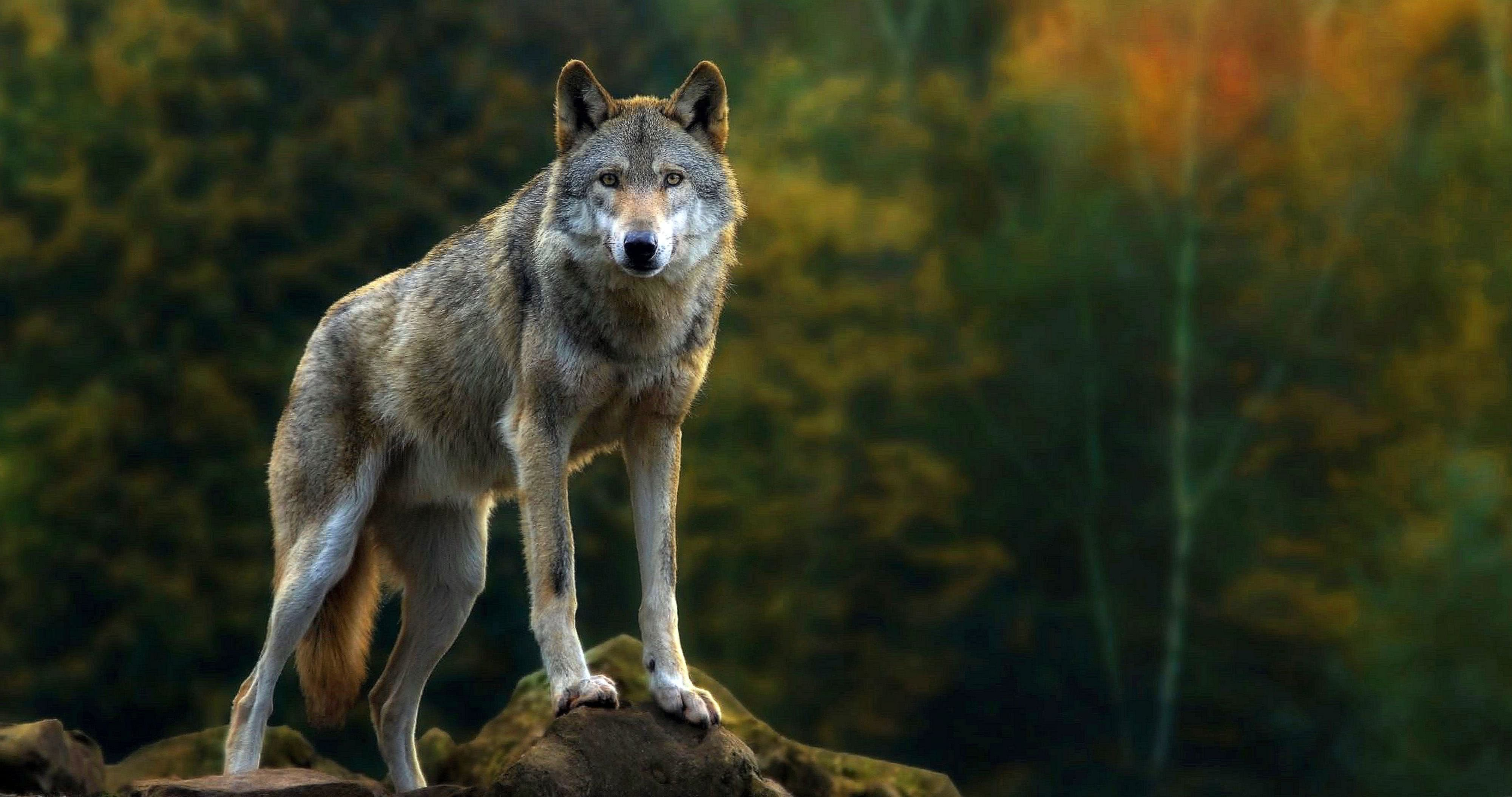 Grey Wolf Wallpapers 4K