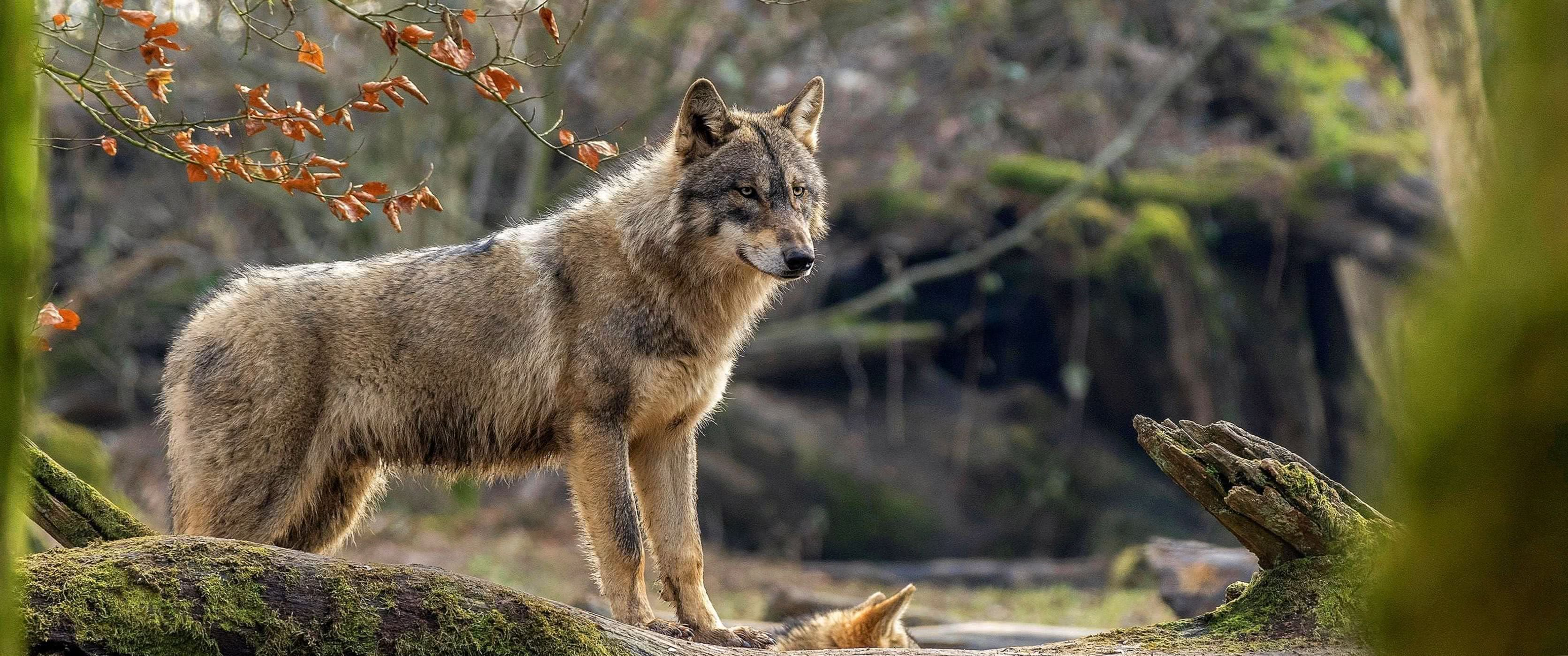 Wolf Wallpapers 3440×1440