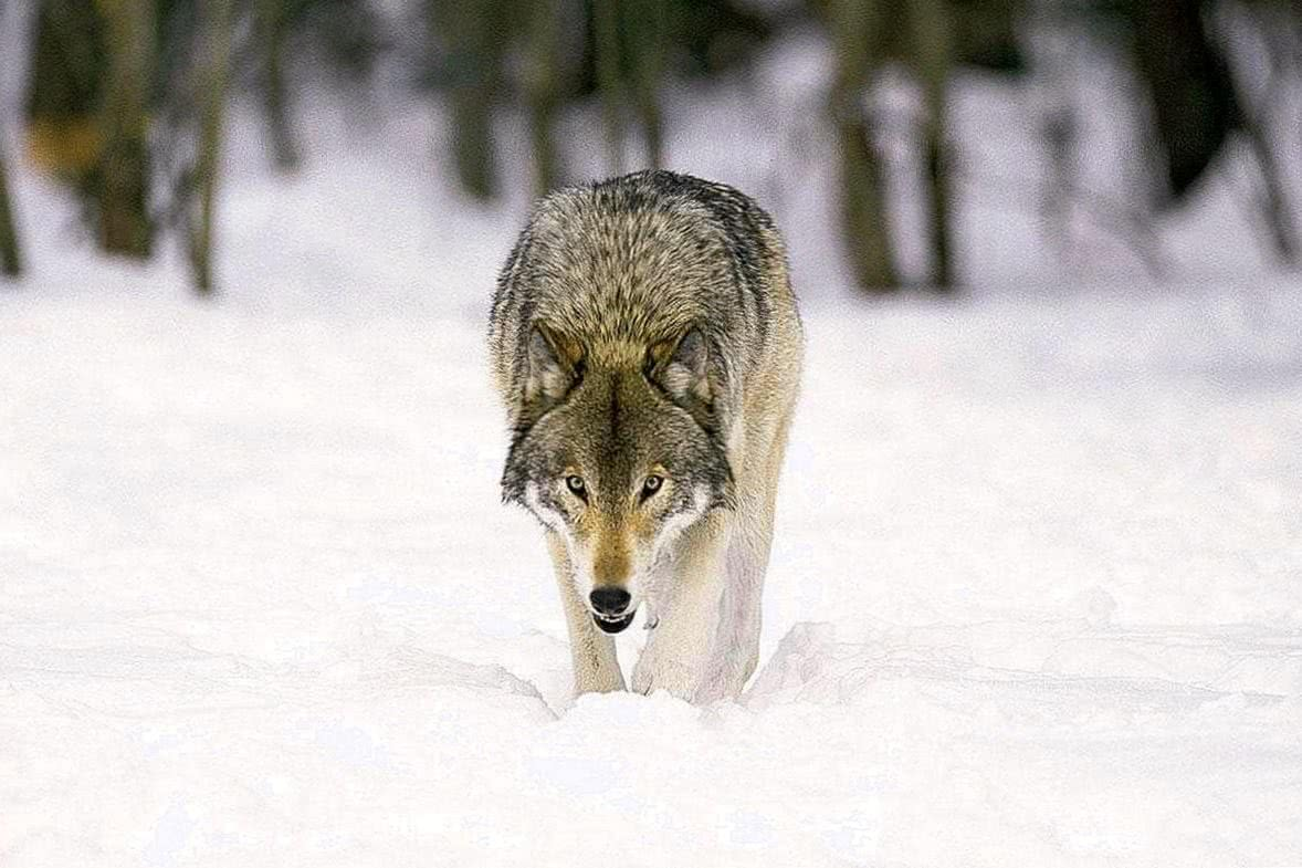 Grey Wolf HD Wallpapers