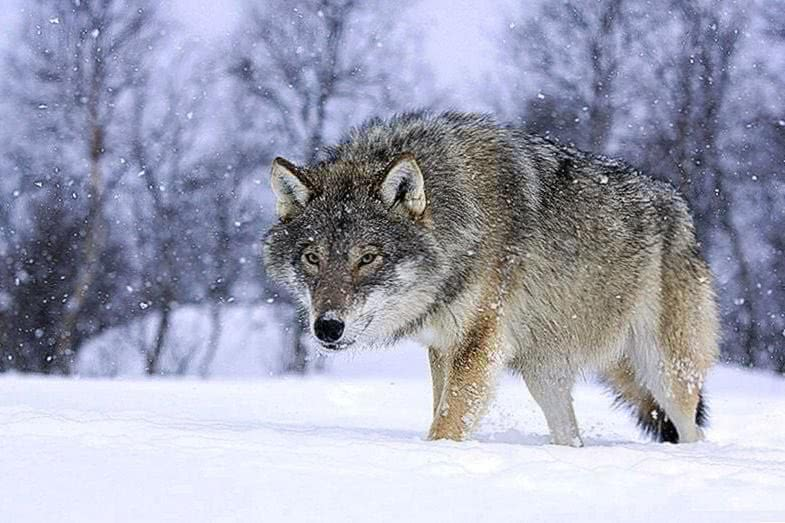 Wallpapers Norway Wolf