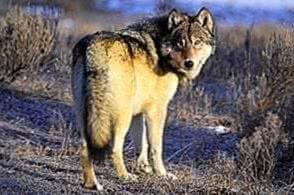 Wolf Yellowstone Wallpapers