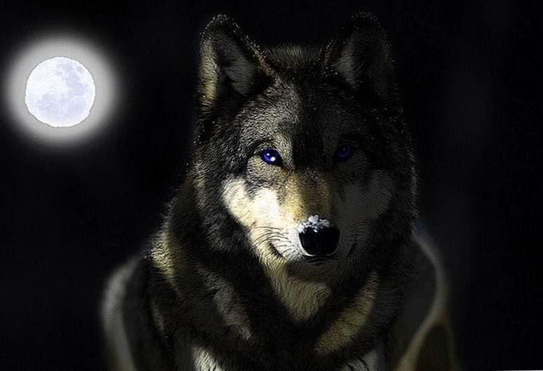 Wallpaper Gray Wolf