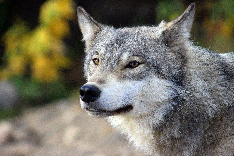 Wolf Wallpapers HD Portrait