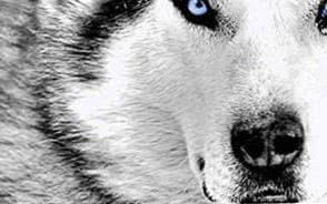 Wolf HD Wallpapers Mac