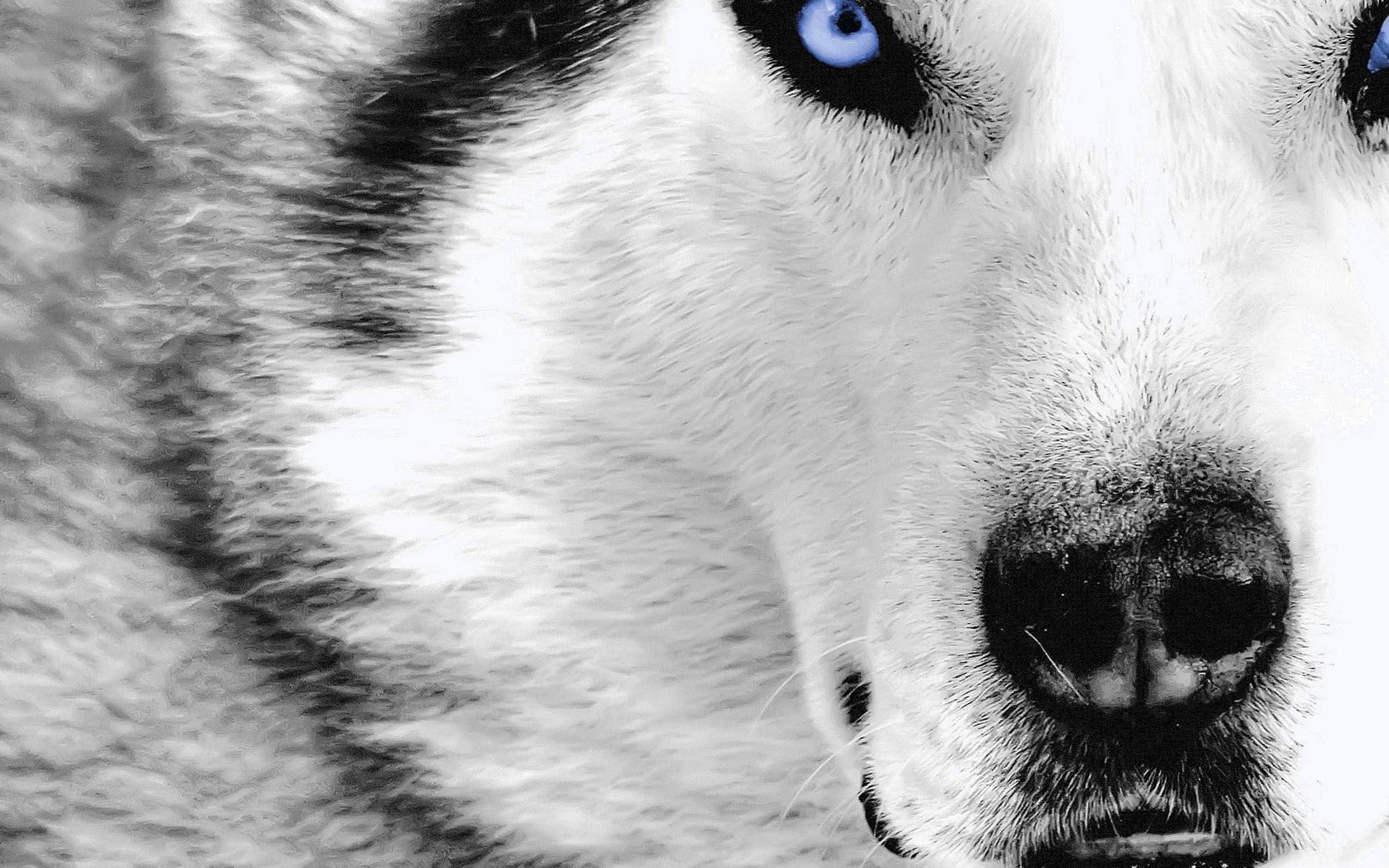 Wolf HD Wallpapers Mac