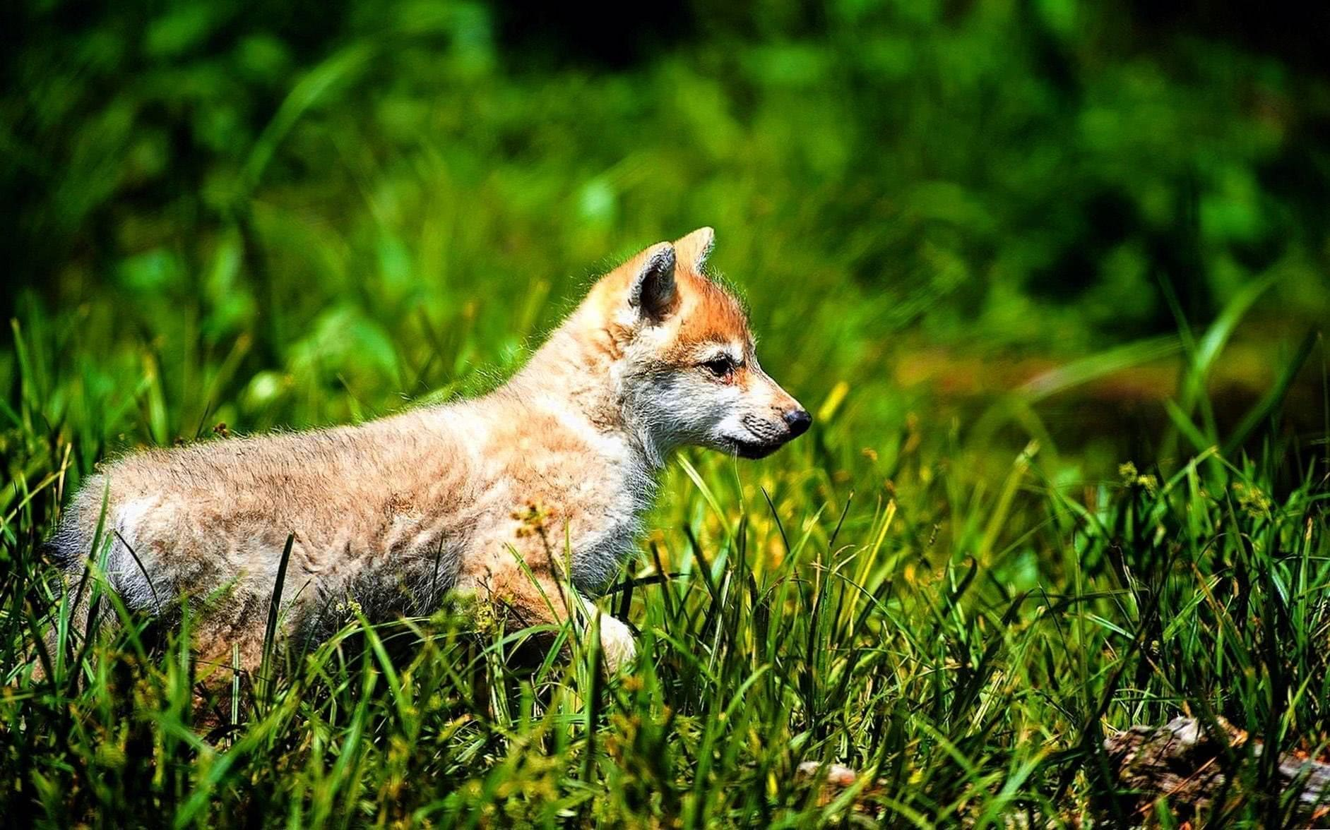 Cute Wolf Cub Wallpapers HD