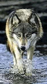 Wolf Retina Wallpapers