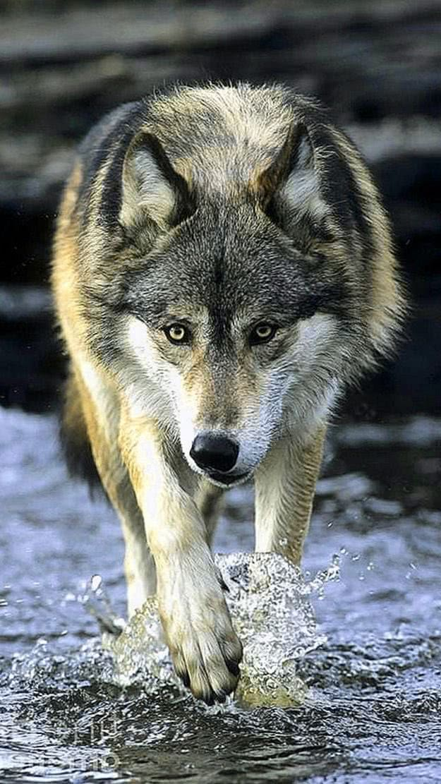 Water Wolf iPhone Wallpaper